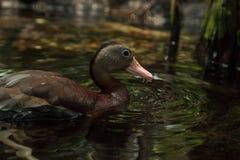 Duck Dendrocygna siffleur fauve bicolore photographie stock libre de droits