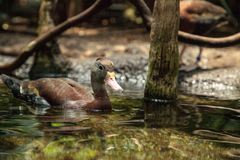 Duck Dendrocygna siffleur fauve bicolore image libre de droits