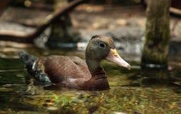 Duck Dendrocygna siffleur fauve bicolore images stock