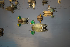 Duck deocoys. Decoys of various duck species including Mallard, Pintail, Gadwall and Teal royalty free stock image