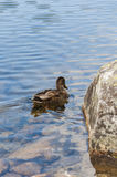 Duck departs Royalty Free Stock Photography