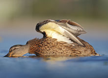 Duck Detail. Water when diving duck detail Stock Photo