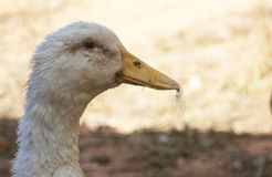 Duck. Dingy white duck staring at the camera Royalty Free Stock Image