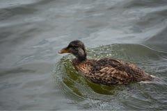 Duck disfrutando de una nadada en un lago hermoso Imagenes de archivo