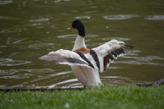 Duck displays the beautiful plumage of his wings Royalty Free Stock Photos