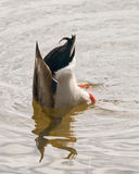 Duck Dive. Duck submerged in a lake to get food stock images