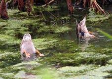 Duck Dive Royalty-vrije Stock Afbeeldingen