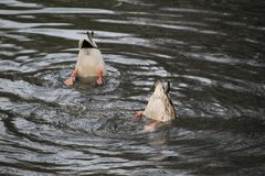 The duck dives for food royalty free stock photography