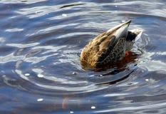 Duck, diving, on calm river stock photos