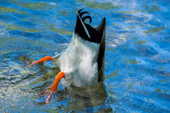 Duck while diving  in the deep blue water Stock Images