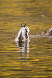 Duck diving in lake water. Mallard duck diving on pond lake. wildlife photography bird in water Stock Photos