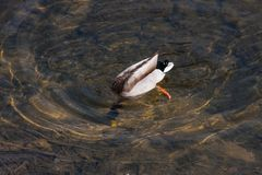 Duck diving spring day. Wonderful colors of duck diving in clear water of river in daylight of spring Stock Images