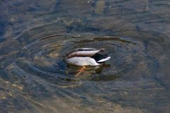 Duck diving spring day. Wonderful colors of duck diving in clear water of river in daylight of spring Stock Photo