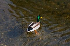 Duck diving spring day. Wonderful colors of duck diving in clear water of river in daylight of spring Stock Image
