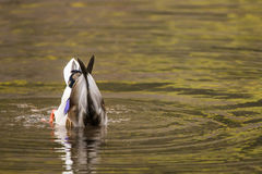 Duck diving in water. Mallard duck swimming diving in pond lake. wildlife photography bird in water Stock Photo