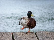 Duck on dock Royalty Free Stock Photography