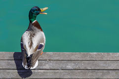 Duck on the dock Royalty Free Stock Images