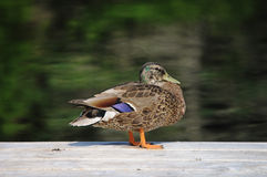 Duck on a dock. A female mallard duck on a dock of a pond Royalty Free Stock Images