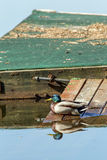 Duck on dock. A mallard duck sits on the ramp leading to the dock on Hauser Lake, Idaho Royalty Free Stock Photo
