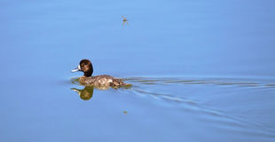 Duck & Dragonfly. A dragonfly following a duckling on a lake Royalty Free Stock Photo