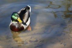 Duck Drake Immagini Stock Libere da Diritti