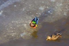 Duck Drake Royaltyfria Bilder
