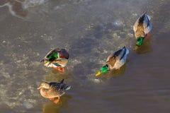 Duck Drake Royaltyfri Fotografi