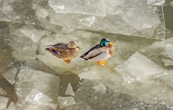 Duck and drake. Beauty duck and drake on ice winter day Royalty Free Stock Photo