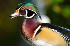 Duck Drake di legno, maschio immagini stock