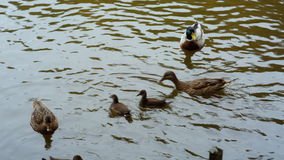 Duck, Drake and ducklings swimming in the water.  stock video footage