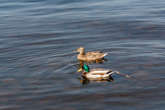 Duck and drake float on the water Royalty Free Stock Photos