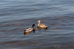 Duck and drake float on the water Stock Photo