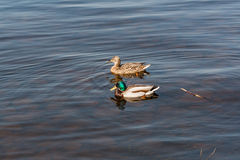 Duck and drake float on the water Stock Images