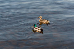 Duck and drake float on the water Royalty Free Stock Photography