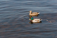 Duck and drake float on the water Royalty Free Stock Images