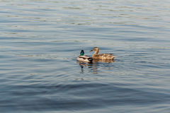 Duck and drake float on the water Stock Photography