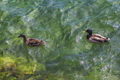 duck and drake floating in the clear water of the lake Mondsee Royalty Free Stock Photos