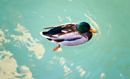 Duck drake green brown color float  blue water. Photo lake Garda Sirmione Italy Stock Photos