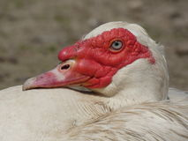 Duck Drake Head Male Stock Photography