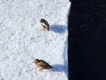 Duck and drake on ice. Stock Photography