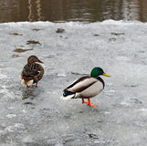 Duck and drake on ice. Duck and drake of mallard on the thawing river ice in the spring. They swam and drops of water still hang on their feathers Stock Photos
