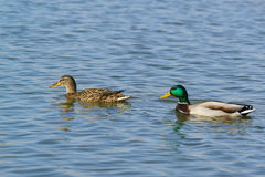 A duck and a Drake male and female of Mallard lat. Anas platyrhynchos is a bird of the duck family Anatidae detachment of wa Royalty Free Stock Photography