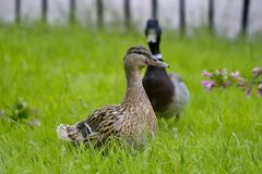 Drake and duck in the meadow. Mallard - a bird from the family of ducks detachment of waterfowl. Duck and drake in the meadow. Mallard - a bird from the family royalty free stock images