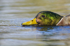 Duck drake portrait Royalty Free Stock Photography