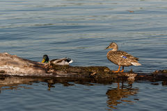 Duck and drake sit on a log Stock Photo