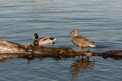 Duck and drake sit on a log Stock Photography