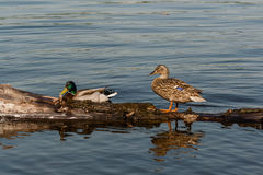 Duck and drake sit on a log. Close-up Royalty Free Stock Photography
