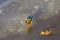 Duck Drake. Duck duck sitting on the ice and swim across the lake. Drake looks at the duck Royalty Free Stock Images