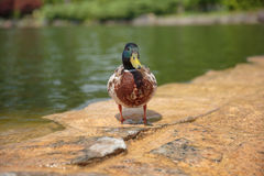 Duck. Drake on the stone Stock Photography