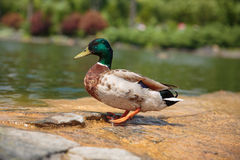 Duck. Drake on the stone Royalty Free Stock Images
